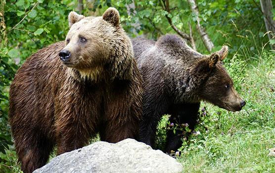 Медведица с медвежатами - красивые фото и картинки, удивительные 11