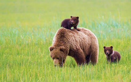 Медведица с медвежатами - красивые фото и картинки, удивительные 12