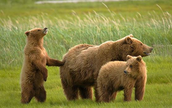 Медведица с медвежатами - красивые фото и картинки, удивительные 14