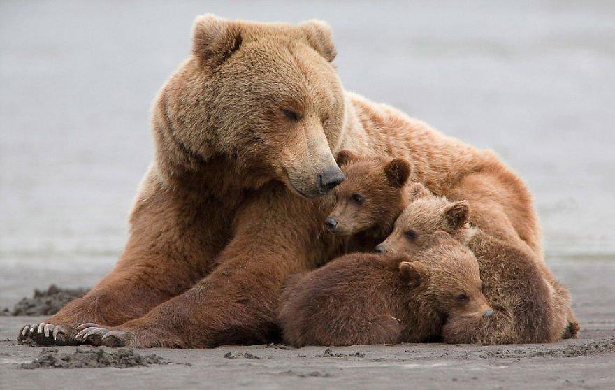 Медведица с медвежатами - красивые фото и картинки, удивительные 3