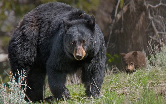 Медведица с медвежатами - красивые фото и картинки, удивительные 5