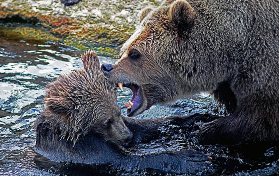 Медведица с медвежатами - красивые фото и картинки, удивительные 8