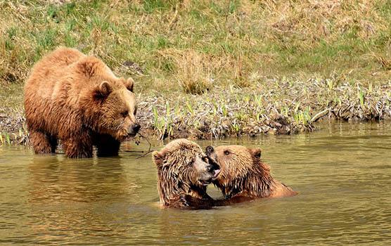 Медведица с медвежатами - красивые фото и картинки, удивительные 9