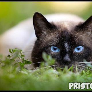 Самые известные породы кошек - топ 5 интересных и популярных пород 2