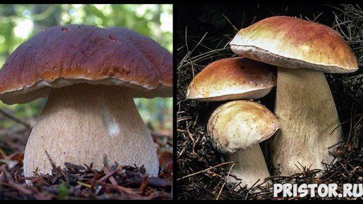 Белый гриб - фото и описание, как отличить белый гриб от ложного 1