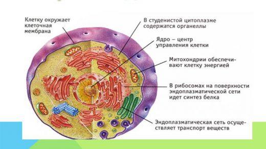 Какие функции выполняют клеточные органоиды Таблица, строение 3