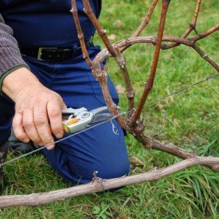 Как подготовить растения винограда к зиме - уход и основные советы 2