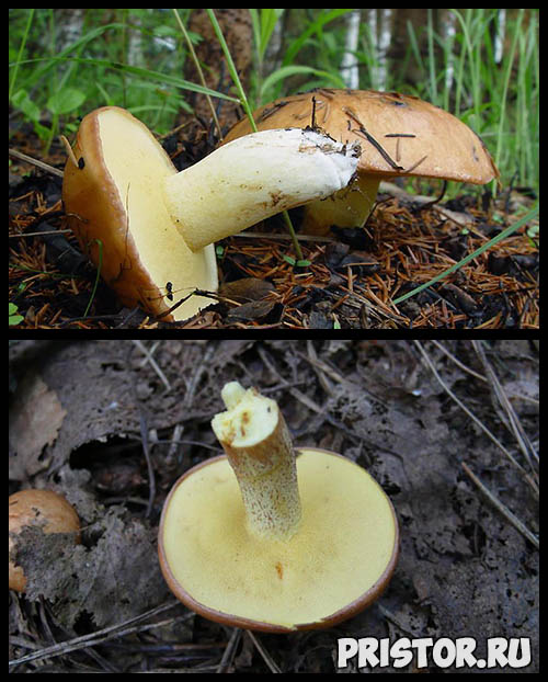Грибы Маслята- описание, как выглядят, когда растут, фото