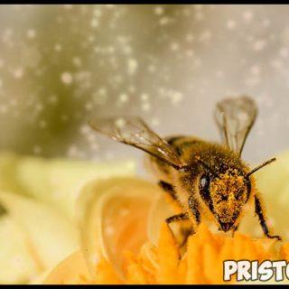 Пчелы наши друзья или враги - интересная информация про пчел 1