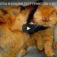 Смешные видео про котиков - смотреть бесплатно, новая подборка №16