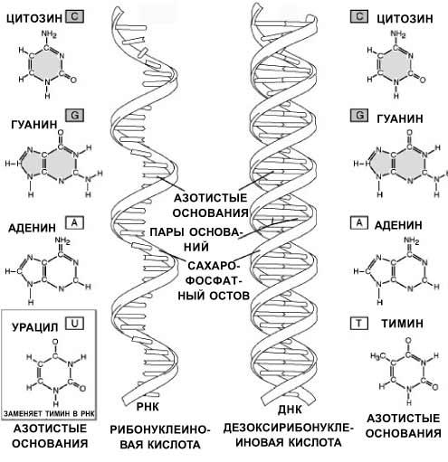 Сравнительная характеристика РНК и ДНК - основные функции, строение 2