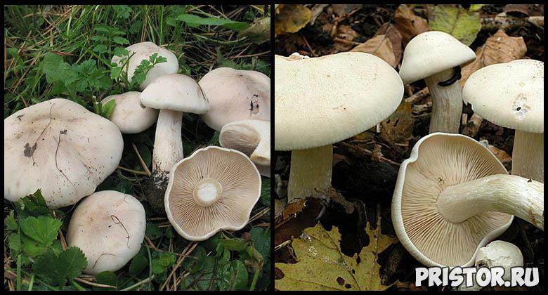 Съедобные грибы рядовки - фото и описание, как выглядят рядовки 5