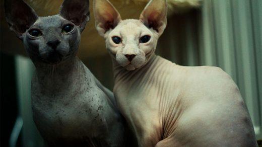 Чем отличается Канадский сфинкс от Донского сфинкса - породы кошек 2