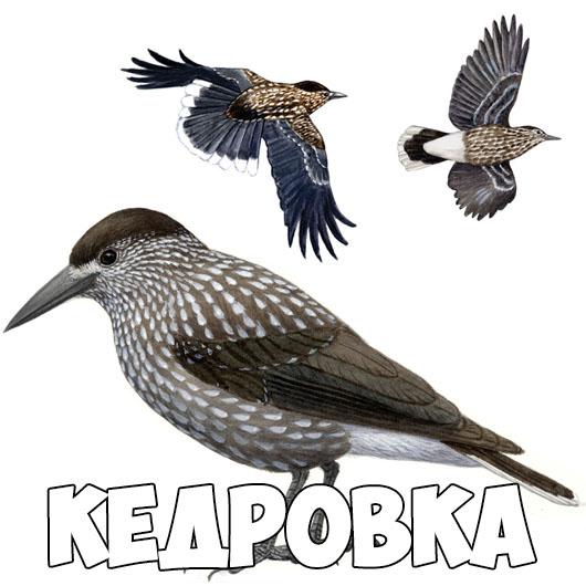 Зимующие птицы картинки для детей - самые интересные и красивые 6