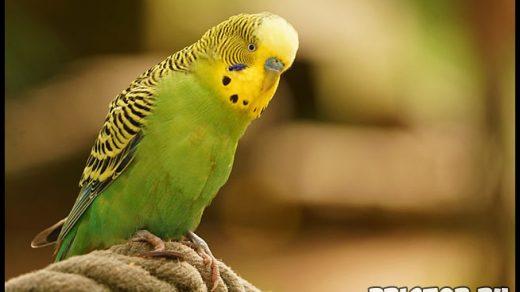 Как научить говорить волнистого попугая - эффективные способы и советы 4