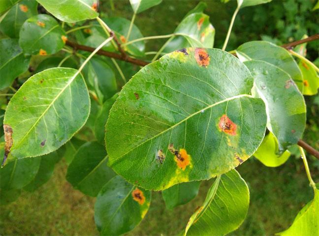 Ржавчина на листьях - основные причины, как с этим бороться 2