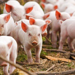 Свиноводство в домашних условиях для начинающих - основные правила 1