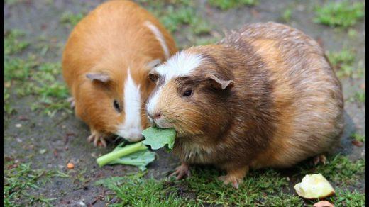Чем кормить морскую свинку в домашних условиях - основной рацион 3
