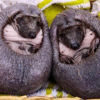 Британцы спасли лысых ежиков без колючек - новости в мире 1