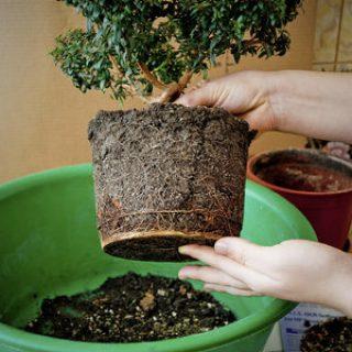 Как вырастить бонсай в домашних условиях - 7 главных правил и советов 3