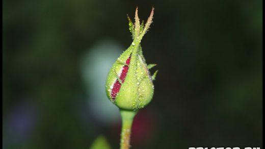 Можно ли вырастить розу из семян, купленных в интернет магазине 2