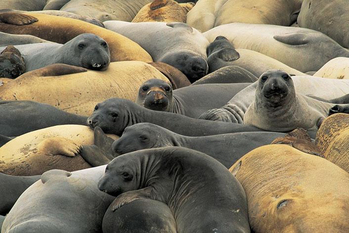 Морские слоны фотографии (лат. Mirounga) - самые красивые картинки 2