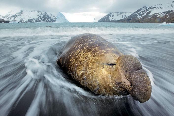 Морские слоны фотографии (лат. Mirounga) - самые красивые картинки 4