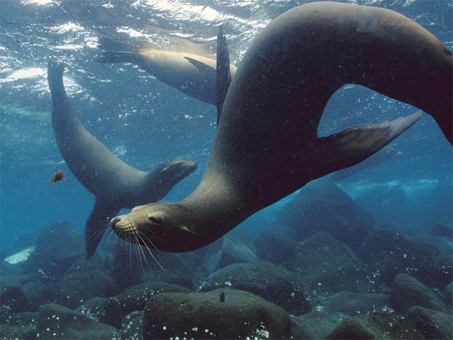 Морские слоны фотографии (лат. Mirounga) - самые красивые картинки 5