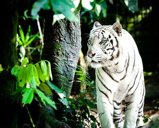 Тигры фото животных, самые необычные и удивительные картинки 1