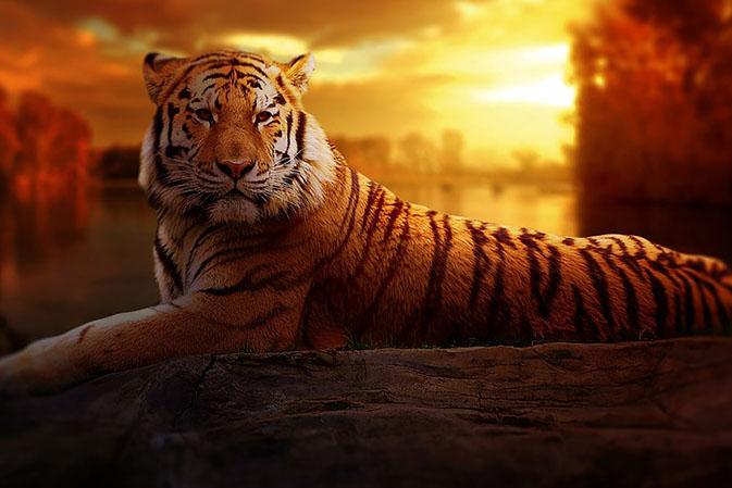 Тигры фото животных, самые необычные и удивительные картинки 15