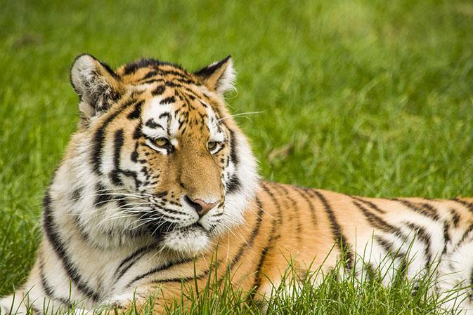 Тигры фото животных, самые необычные и удивительные картинки 19