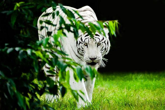 Тигры фото животных, самые необычные и удивительные картинки 2