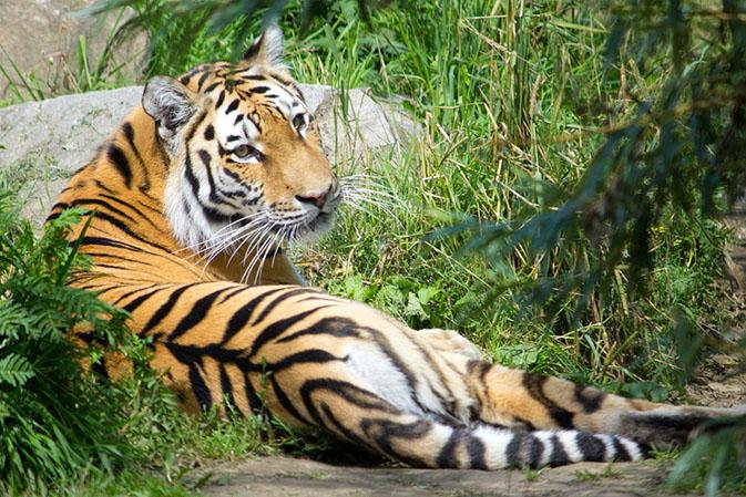 Тигры фото животных, самые необычные и удивительные картинки 20