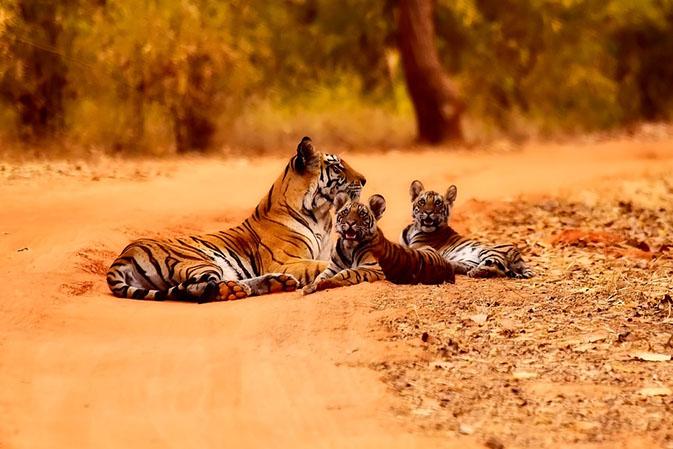 Тигры фото животных, самые необычные и удивительные картинки 21