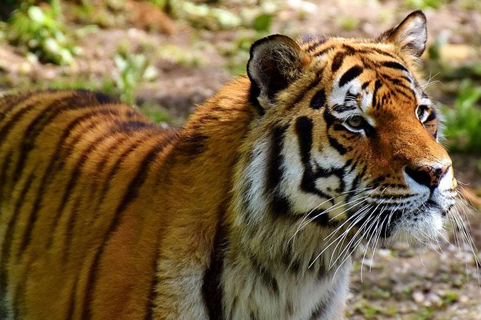 Тигры фото животных, самые необычные и удивительные картинки 23