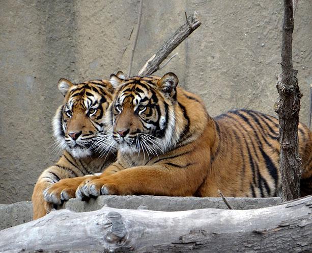 Тигры фото животных, самые необычные и удивительные картинки 24