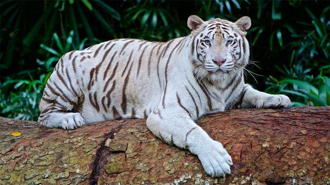 Тигры фото животных, самые необычные и удивительные картинки 27