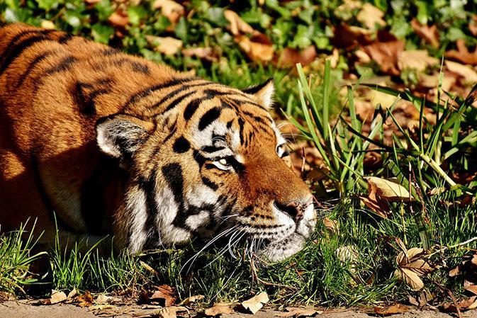 Тигры фото животных, самые необычные и удивительные картинки 28