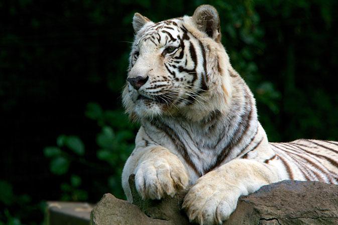 Тигры фото животных, самые необычные и удивительные картинки 31