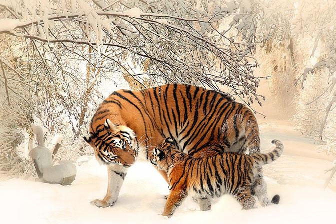 Тигры фото животных, самые необычные и удивительные картинки 4