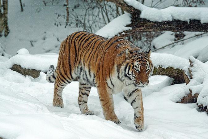 Тигры фото животных, самые необычные и удивительные картинки 5