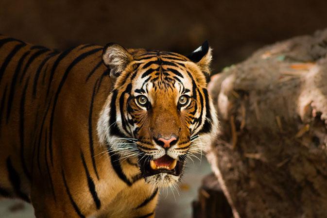 Тигры фото животных, самые необычные и удивительные картинки 7