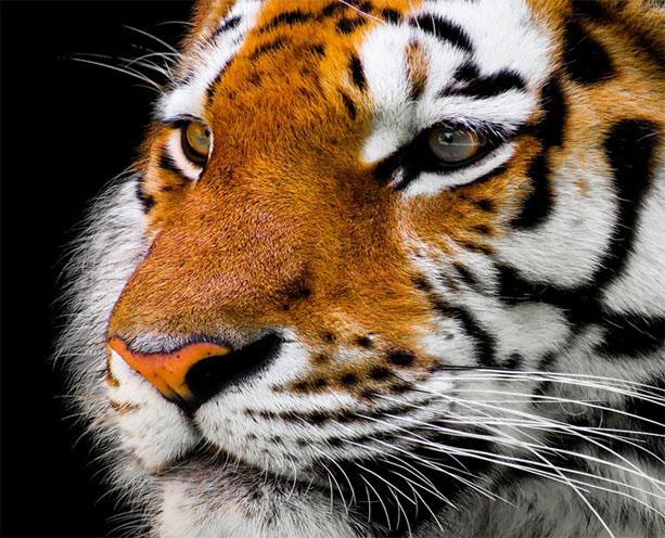Тигры фото животных, самые необычные и удивительные картинки 8