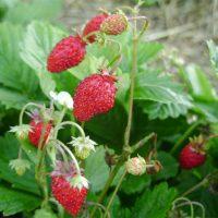 Как вырастить мелкоплодную землянику из семян Главные секреты 1