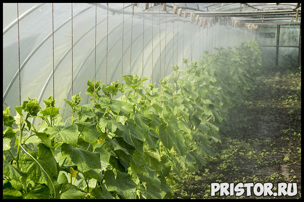 Как вырастить урожай огурцов в открытом грунте - подготовка и уход 2