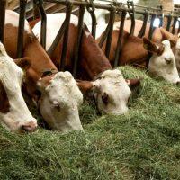 Как откормить бычка на мясо за короткое время - основные советы 2