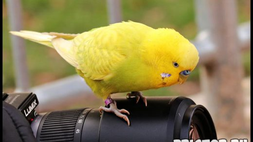 Как приучить волнистого попугая купаться - советы по приучению 2