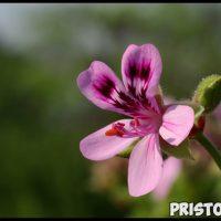 Почему не цветет герань и что делать Как помочь растению, уход 2