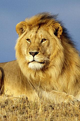 Скачать картинку лев на телефон на главный экран - лучшая сборка 10