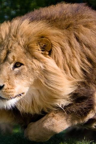 Скачать картинку лев на телефон на главный экран - лучшая сборка 4